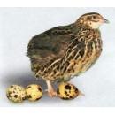 Яйцо инкубационное перепела