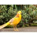 Золотой фазан желтый