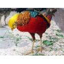 Золотой фазан красный
