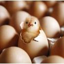 Купить яйцо инкубационное