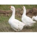 Линдовские гусята